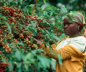 плантация кофе